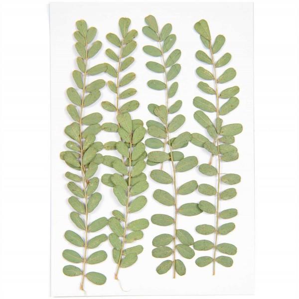 Gepresste Pflanzen Nelkengewächs